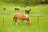 Belgian Horse and Llamas in Pasture, Dane County, Wisconsin
