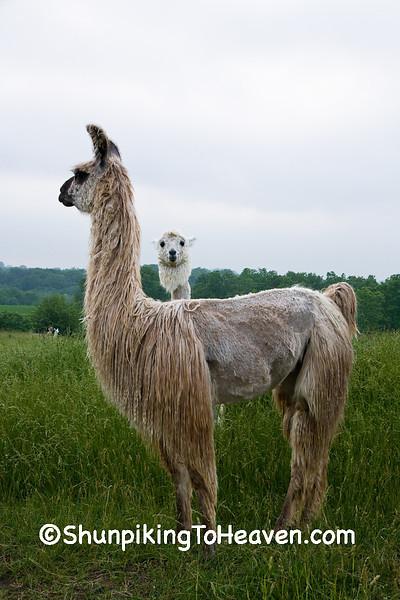 Llamas, Dane County, Wisconsin