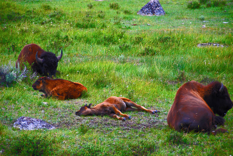 Resting, Baby buffalo resting in Lamar Valley in Yellowstone.