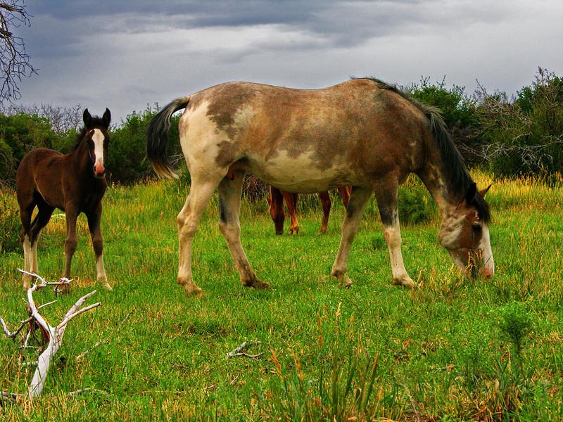 Wild Horses in Mesa Verdes, CO
