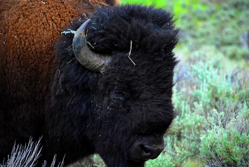 Buffalo in Yellowstone National Park