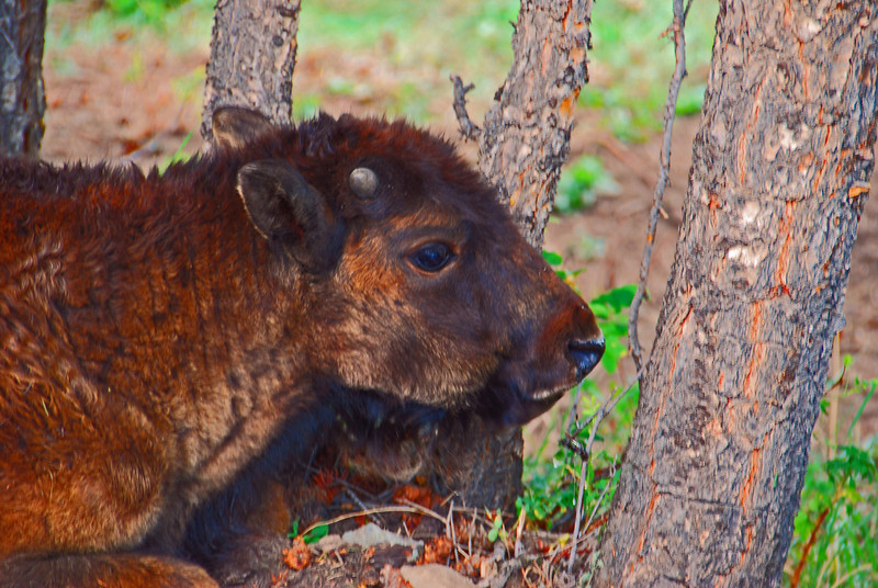 Baby Buffalo, Lamar Valley