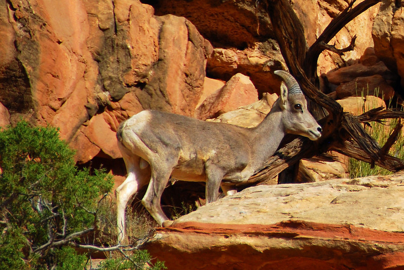 Mountain Goat in Capitol Reef
