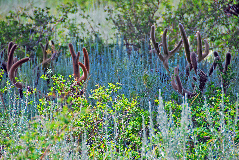 Deer Garden,  I was in Mammoth Lakes, CA and saw 7 buck deer running together with huge antlers.  They all nestled into this one area under a tree, and rested.