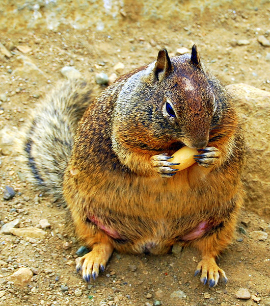 Big Fatty,  This squirrel was at Moro Bay, CA.  She ate everything we threw at her, which was not helping her situation.  Obviously she was pregnant.