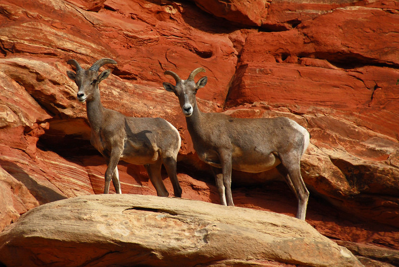 Mountain Goats in Capitol Reef National Park