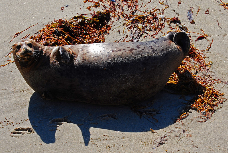 Yo, This curious Harbor Seal didn't miss a beat with all the tourist around. La JOlla, CA
