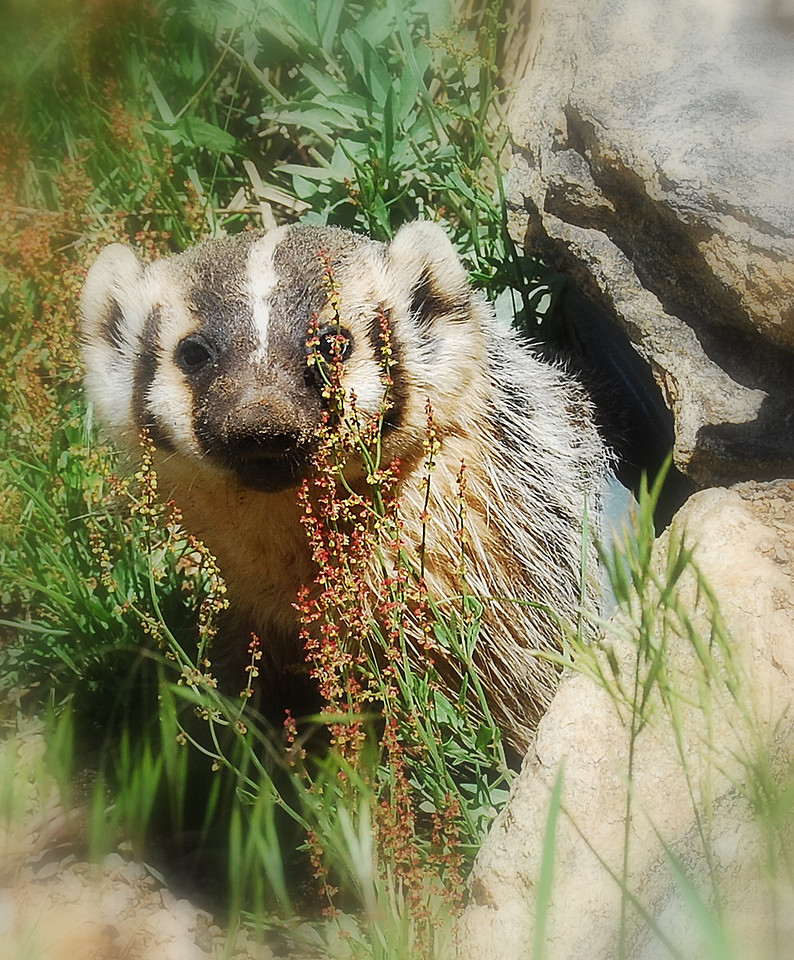 Badger in Rocky Mountain National Park