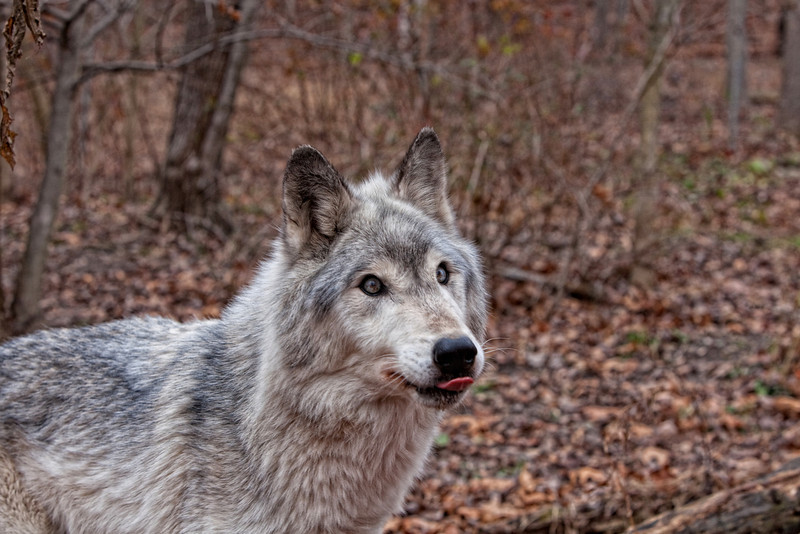 Timber wolf waiting for a treat