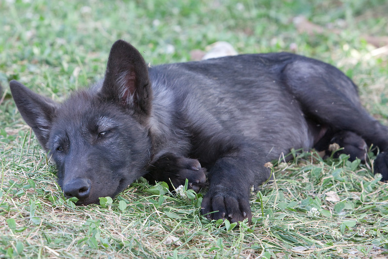 Black wolf pup 2