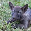 Black wolf pup 5