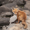 Red Fox #1 at Dillion Dam