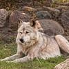 Gray Wolf 1