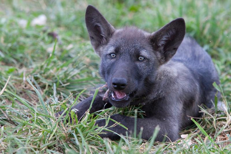 Black wolf pup 6