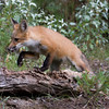 Red fox jumping on to a log