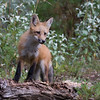 Red fox standing on a log