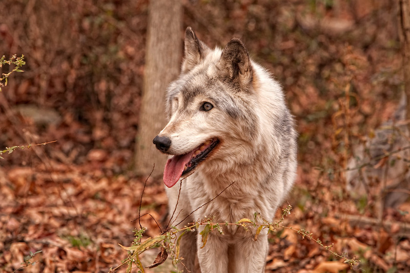 Timber wolf 4