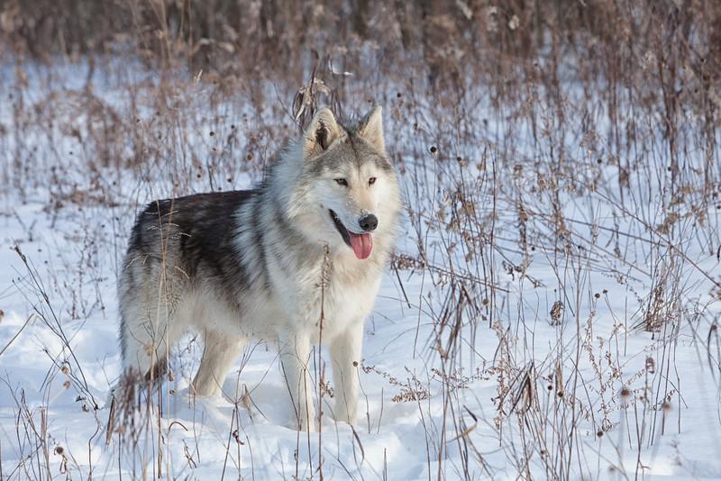 Ironwood Wolf