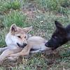 Growling wolf pups