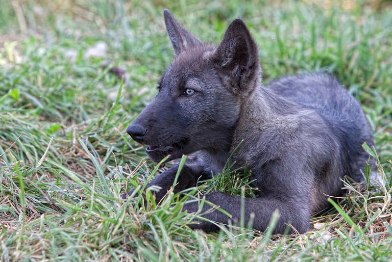 Black wolf pup 4