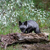Silver fox standing on a log
