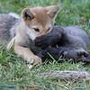 Wolf pups playing 3