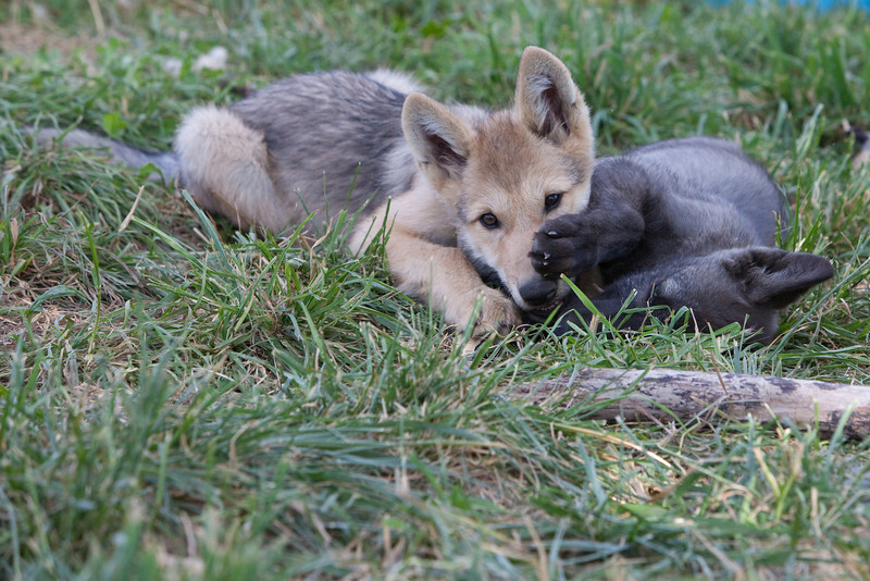 Wolf pups playing 2
