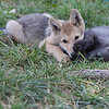 Wolf pups playing 2