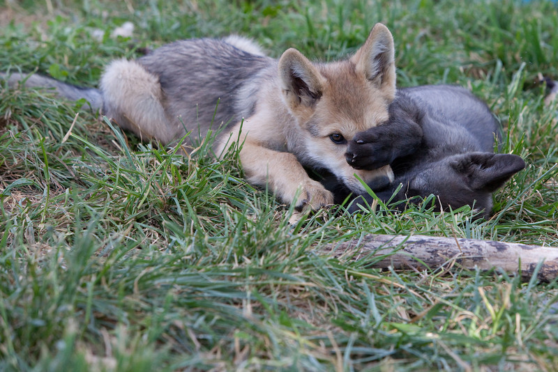 Wolf pups playing 1