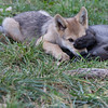 Wolf pups playing 1