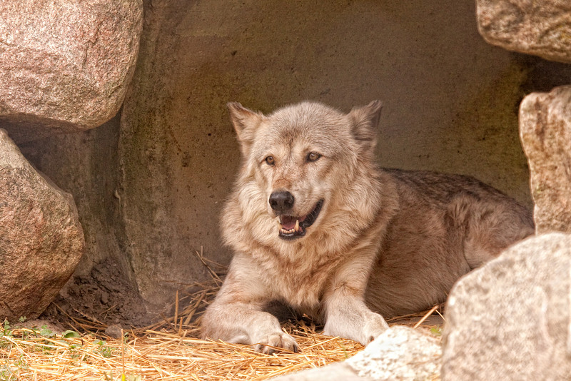 Gray Wolf 2