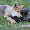 Wolf pups playing 4
