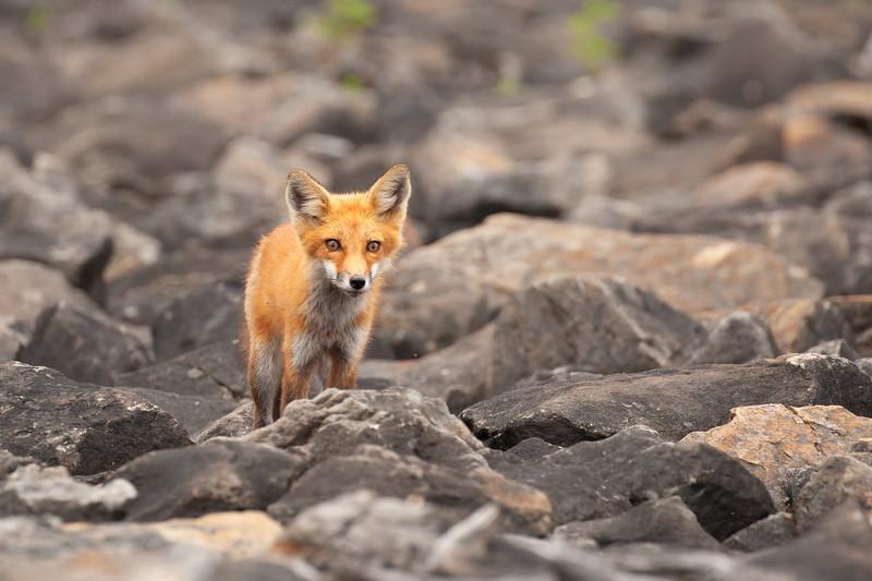 Red Fox #2 at Dillion Dam