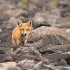 Red Fox #2 at Dillion Dam