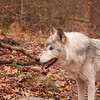 Timber wolf 1