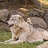 Gray Wolf 3