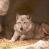 Gray Wolf 4