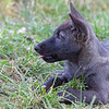 Black wolf pup 3