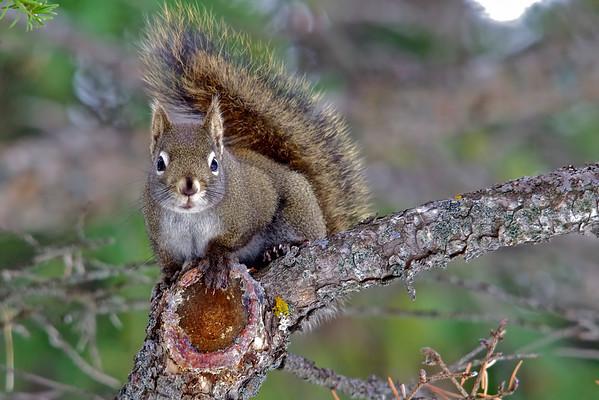 Squirrel, Banff