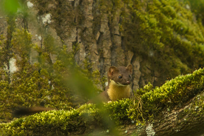 Long-tailed Weasel, 2013