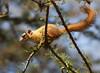 Squirrel - Tanzania