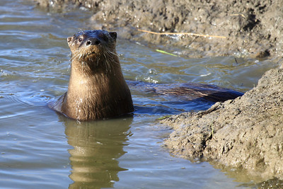 One river otter standing guard as his family member swims into the den. Seen at Ridgefield National Wildlife Refuge  Print size 5 x 7 $14.00 USD 8 x 10 $20.00 USD 8 x 12 $20.00 USD 11 x 14 $28.00 USD 12 x 18 $35.00 USD 16 x 20 $50.00 USD