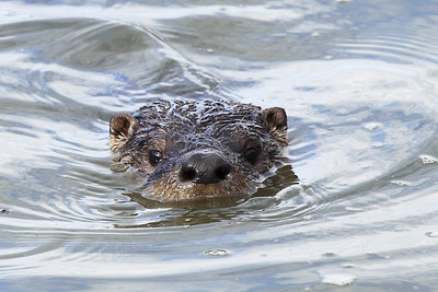An American River Otter seen at Ridgefield National Wildlife Refuge  Print size 5 x 7 $14.00 USD 8 x 10 $20.00 USD 8 x 12 $20.00 USD 11 x 14 $28.00 USD 12 x 18 $35.00 USD 16 x 20 $50.00 USD