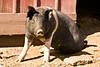 Pig in the Barnyard, Franklin County, Iowa