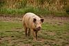 Pig in the Pasture, Waupaca County, Wisconsin