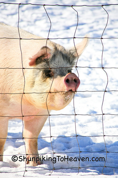 Pig in Winter, Richland County, Wisconsin