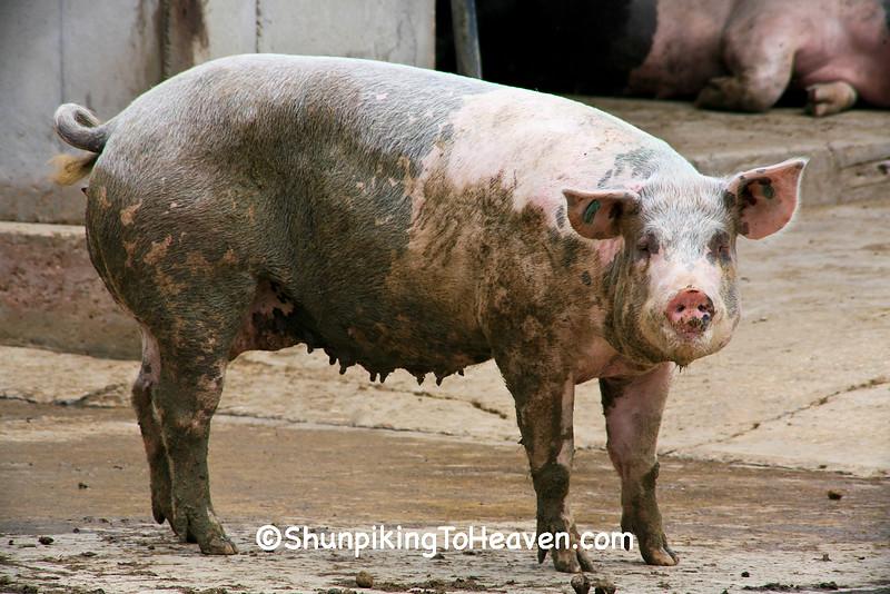 Pig in the Barnyard, Dane County, Wisconsin
