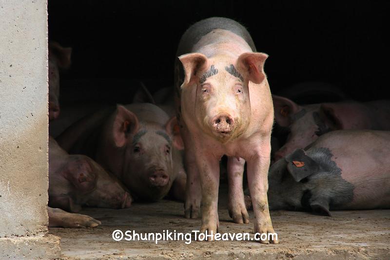 Pigs in the Barnyard, Dane County, Wisconsin