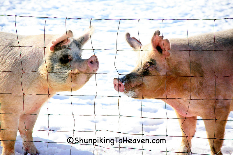Pigs in Winter, Richland County, Wisconsin