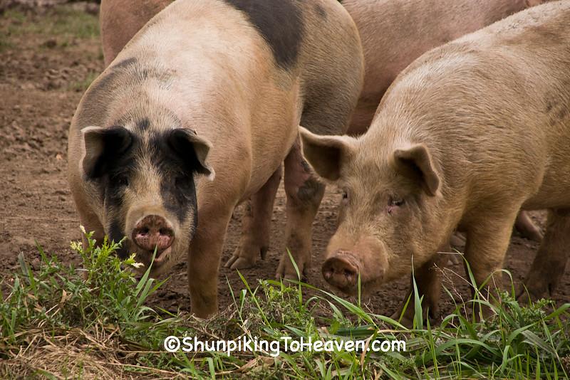 Pigs in the Pasture, Waupaca County, Wisconsin